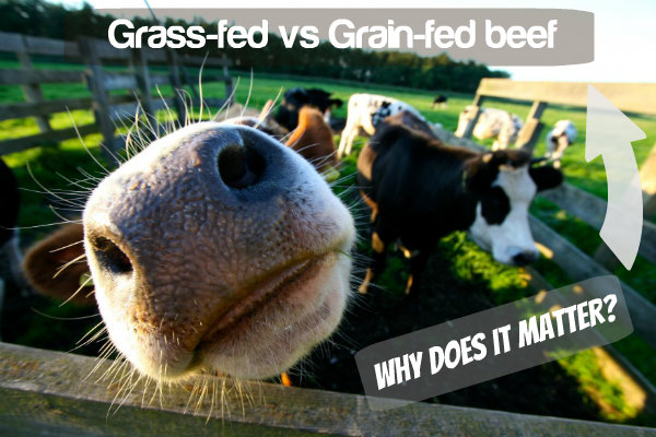 Grass fed vs Grain fed beef and Why does it matter? - The Urban Ecolife