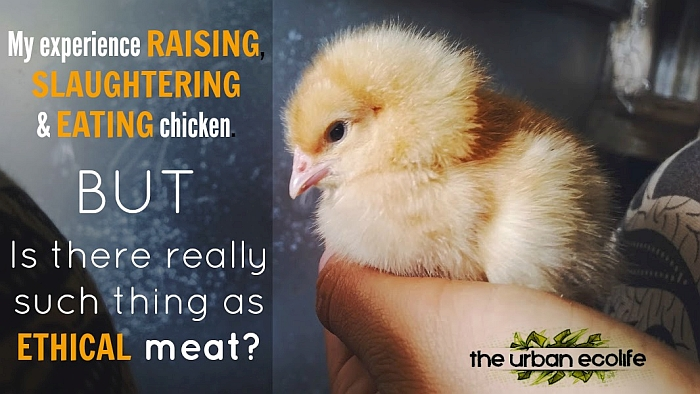 My experience raising, slaughtering and eating chicken BUT - Is there really such thing as ethical meat? - The Urban Ecolife