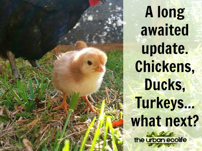 A Long Awaited Update. Chickens, Ducks, Turkeys... what next? - The Urban Ecolife